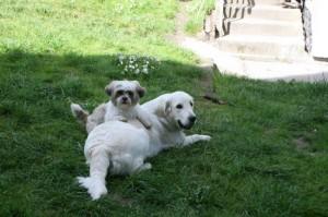 Psi Fryzjer Fiumi pies Wiki ogrod